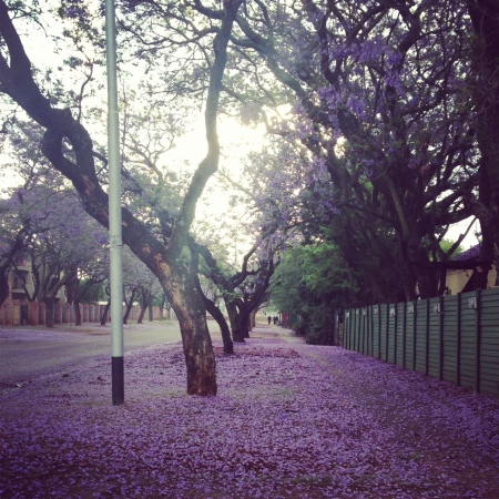 A carpet of fallen Jacaranda flowers covers a sidewalk in Pretoria. ©O.Mkandawire/ESCP